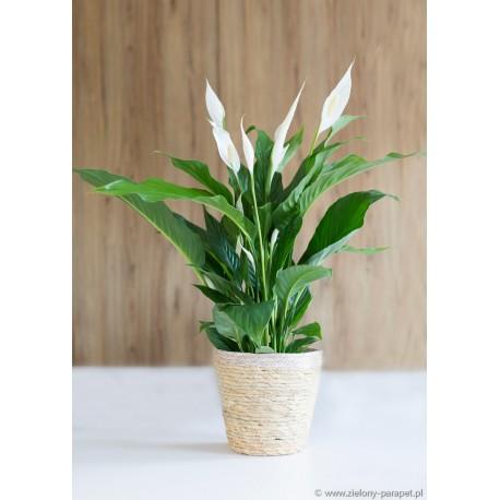 Spathiphyllum 'Sweet Silvio' Skrzydłokwiat