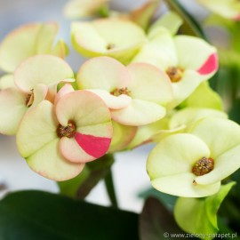 Euphorbia milii 'Hera Bicolour'