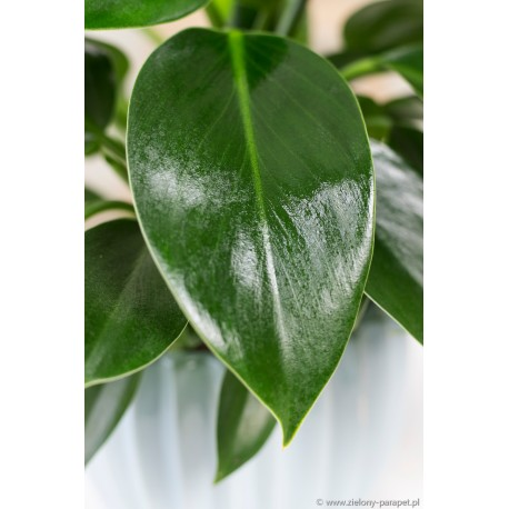 Philodendron 'Green Princess' Filodendron
