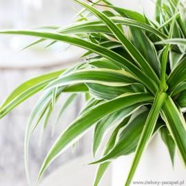 Chlorophytum laxum -zielistka czubiasta