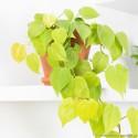 Philodendron scandens 'Lemon Lime' Filodendron pnący