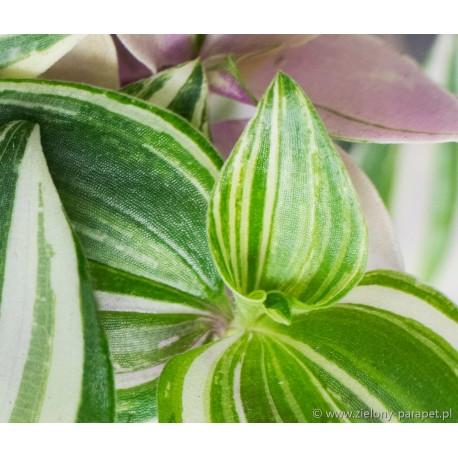 Tradescantia fluminensis 'Tricolor' Trzykrotka