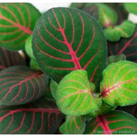 Fittonia 'Bubble Red' Fitonia