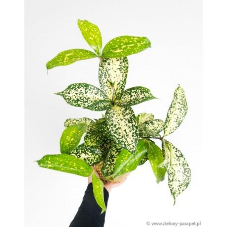 Dracaena serruculosa 'Florida Beauty' Dracena rozgałęziona