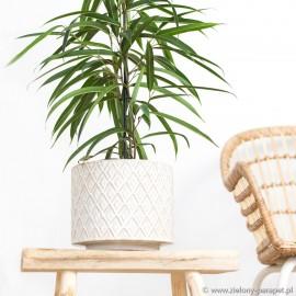Ficus binnendiijkii 'Alii' Figowiec wierzbolistny