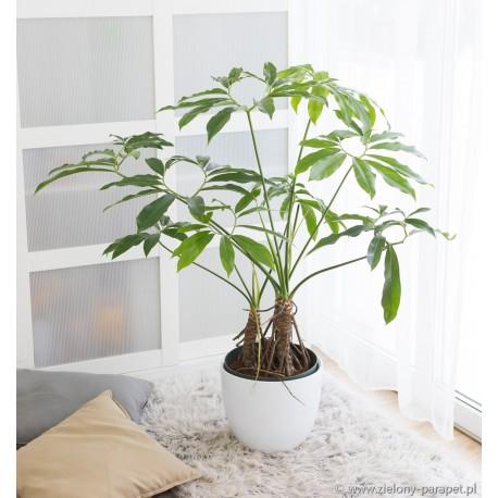 Philodendron 'Fun Bun' Filodendron