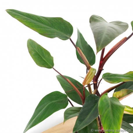 Philodendron erubescens 'Ruby Red' Filodendron