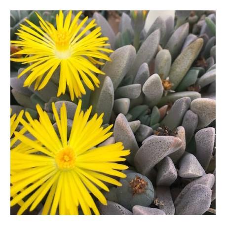 Aloinopsis orpenii Żywe kamienie