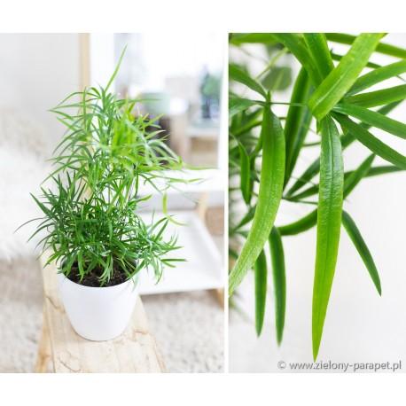 Asparagus falcatus Asparagus sierpowaty