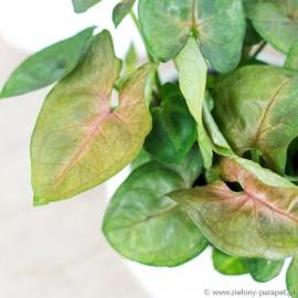 Syngonium 'Wildberry' Zroślicha