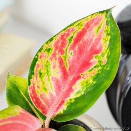 Aglaonema China Red