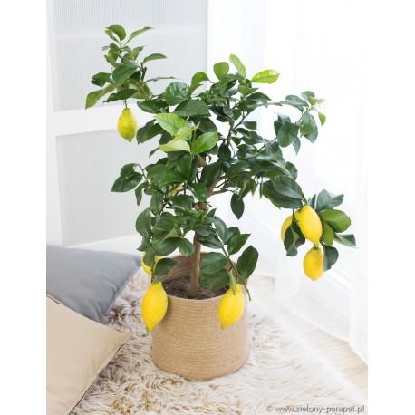 Citrus x limon 'Meyer' Cytryna