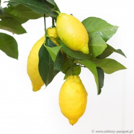 Citrus x limon 'Meyer' Cytryna