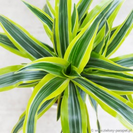 Dracaena fragrans 'Lemon Lime' Dracena