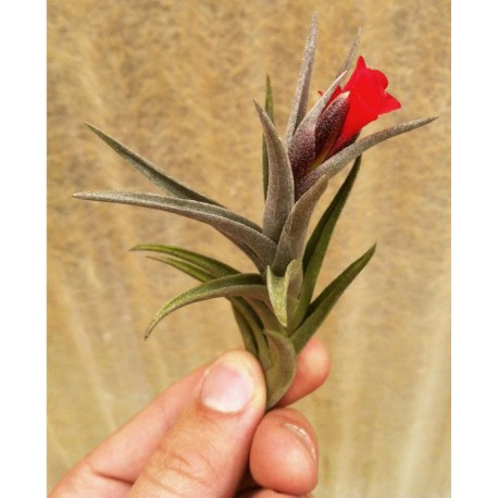 Tillandsia ionantha 'Fuego' -oplątwa