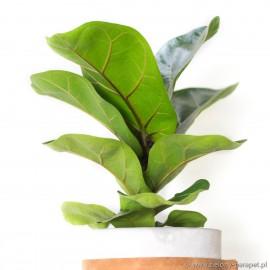 Ficus lyrata 'Bambino' Figowiec dębolistny