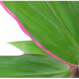 Cordyline 'Pink Eye' Kordylina