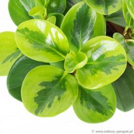 Peperomia obtusifolia 'Lemon Lime' Peperomia tępolistna