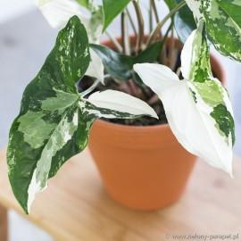 Syngonium podophyllum albo variegata Zroślicha