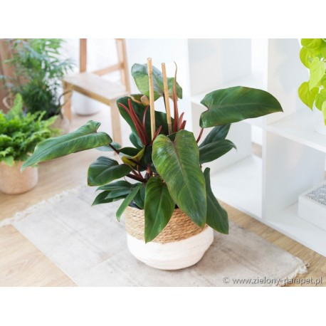 Philodendron Twin Wings