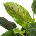 Philodendron subhastatum 'Variegata' Filodendron