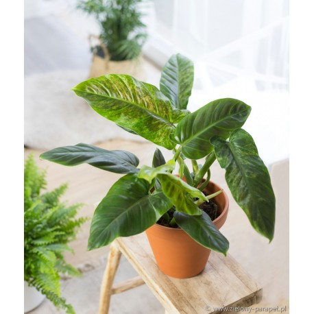 Philodendron subhastatum Filodendron Variegata