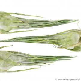 Tillandsia ariza-juliae Oplątwa