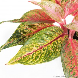 Aglaonema 'Florida'