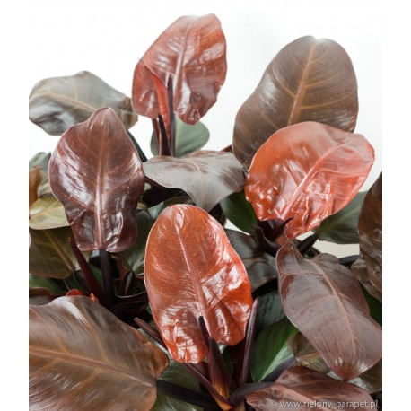 Philodendron Cherry