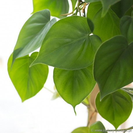 Philodendron scandens Filodendron pnący