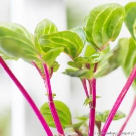 PRZECENA 40% Iresine herbstii 'Aureoreticulata' Irezyna Herbsta
