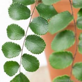 Pellaea rotundifolia Ciemnotka okrągłolistna