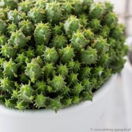 Euphorbia submammillaris Wilczomlecz