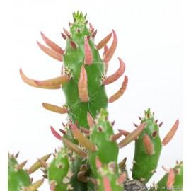 Opuntia subulata Opuncja