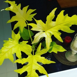Philodendron selloum 'Gold' Filodendron