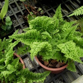 Nephrolepis 'Green Fantasy' Nefrolepsis
