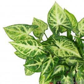 Syngonium 'Green Robusta' Zroślicha