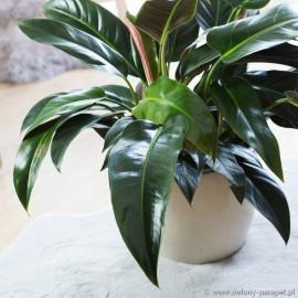 Philodendron demesticum St. Tropez