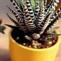 Haworthia fasciata 'Big Band' Haworsja pasiasta