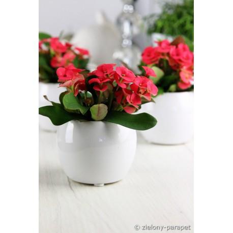Wilczomlecz okazały 'Mini' Euphorbia milii