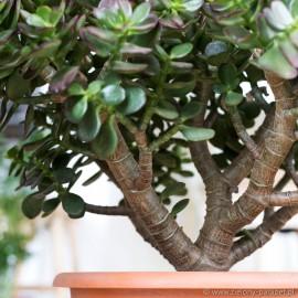 Crassula ovata 'Minor' Grubosz owalny
