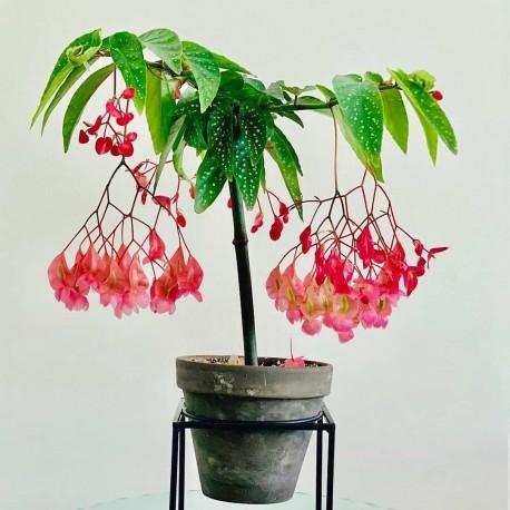 Begonia maculata 'Tamaya' Begonia koralowa