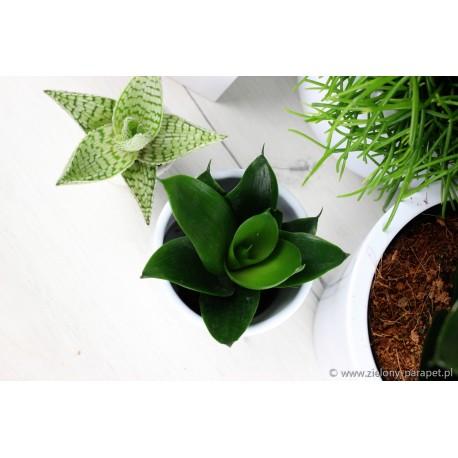 Sansewieria gwinejska 'Hahni Black' Sansevieria trifasciata