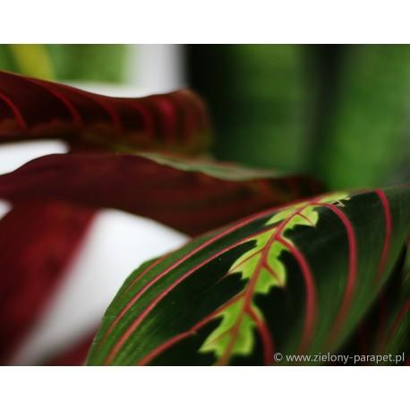 Maranta leuconeura 'Fascinator Tricolor'