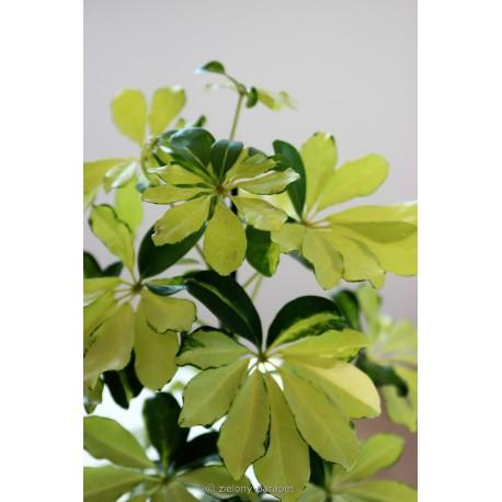 Schefflera arboricola 'Melanie' Szeflera drzewiasta