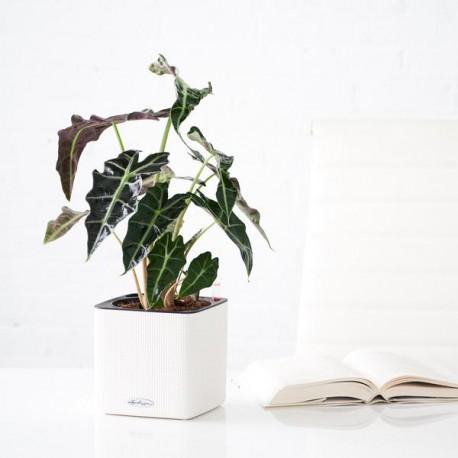 Kroton 'Red Banana' Codiaeum variegatum