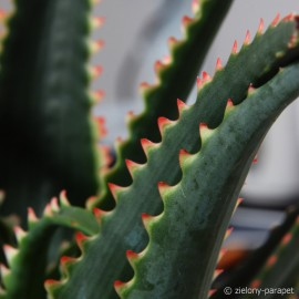 Aloe 'Red Dragon' Aloes