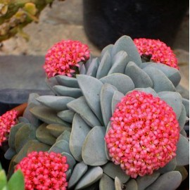 Crassula Morgan's Beauty