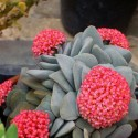 Crassula 'Morgan's Beauty' Grubosz