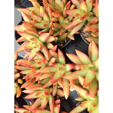 Sedum rubrotinctum 'Aurora' Rozchodnik